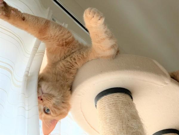 キャットタワーでヘソ天猫