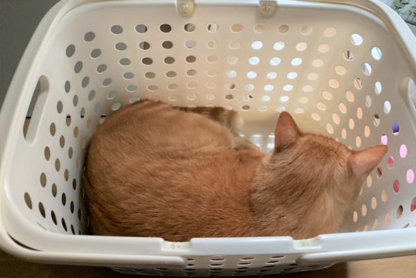 洗濯カゴに入るナナ